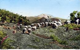 LA RÉUNION  Plaine Des Caffres  ............  Avec Troupeau De Moutons - Autres