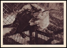 RIGA ZOO. FOX - Vulpes Vulpes. LATVIA (USSR, 1961). Unused Postcard - Tierwelt & Fauna
