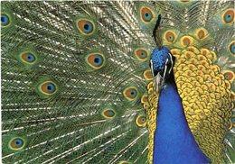 PAVO REAL FOTOGRAFIA DE HUGO VITAMVAS ARGENTINA POSTAL PUBLICIDAD CIRCA 2000's NON CIRCULE -LILHU - Pájaros