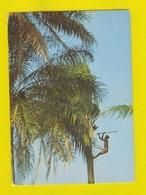 GUINE BISSAU GUINEA 1960 YEARS AFRICA AFRIKA AFRIQUE FURADOR & TREE WINE PALM VIN VINE VINHO DE PALMA POSTCARD - Guinea-Bissau