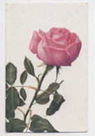 AI63 Flowers - Pink Rose, Artist Drawn - Flowers, Plants & Trees