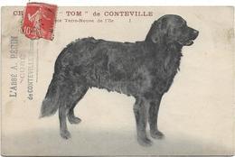 """CHIEN RACE TERRE - NEUVE DE L' ILE / CHAMPION """" TOM """" DE CONTEVILLE / L' ABBE A . PERRIN CURE DE CONTEVILLE ( Somme ) - Francia"""
