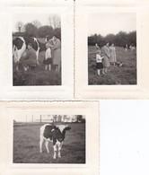 3 MINI-PHOTO---ELEVAGE AGRICULTEUR + TROUPEAU De VACHES--voir  Scan - Métiers