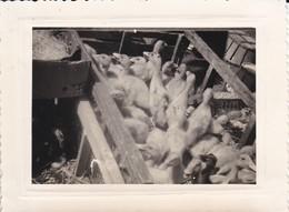 MINI-PHOTO---ELEVAGE AGRICULTURE--les Canards à La Foire D'HIRSSON Mai 1959--voir 2 Scans - Métiers