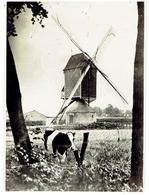 SINT- LENAARTS - Brecht - Kleine Foto 11 X 8 Cm - Molen - Brecht