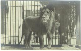 Carte Photo. Lion Dans Zoo. A Situer. - Lions