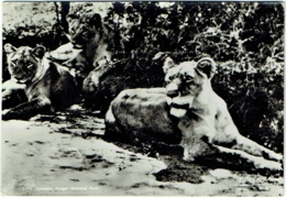 Carte Photo. Lionne, Kruger National Park. 1952. - Lions