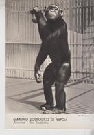 NAPOLI GIARDINO ZOOLOGICO SCIMPANZE' - Monkeys