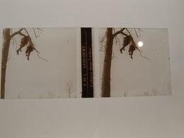Photo Plaque De Verre Stéréoscopique Guerre 14-18 Avocourt Cadavre Dans L'arbre - Diapositiva Su Vetro