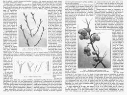 LE GREFFAGE DES BOUTONS à FRUITS   1901 - Garden