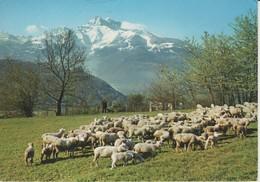 (CH1072) UN JOLI TROUPEAU ET VUE SUR LES DENTS DU MIDI - Switzerland