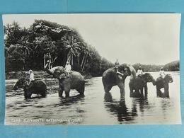 Tame Elephants Bathing Ceylon - Sri Lanka (Ceylon)