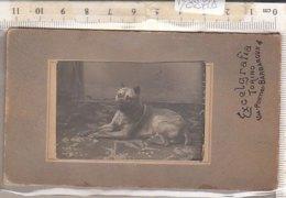 PO8271D# FOTOGRAFIA CARTONATA CANE BULLDOG - DOG - Photos