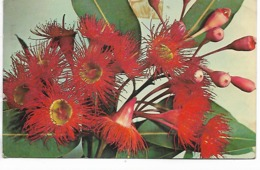 CPSM - Plantes :  Australian Wildflowers- Scallet  Flowering  Gum - 1964 - B. Piante Fiorite & Fiori