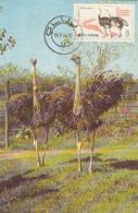 BIRDS, COMMON OSTRICH, CM, MAXICARD, CARTES MAXIMUM, 1964, ROMANIA - Struisvogels