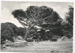 W3991 Isola Di Caprera (Sassari) - Pino Sotto Il Quale Il Generale Garibaldi Voleva Essere Cremato / Viaggiata 1961 - Altre Città