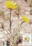 Bophuthatswana - Maximum Card Of 1987 - MiNr. 186 - Wildflowers - Berkheya Zeyheri - Bophuthatswana