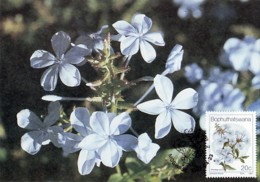 Bophuthatswana - Maximum Card Of 1987 - MiNr. 187 - Wildflowers - Plumbagoauriculata - Bophuthatswana