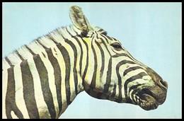 ZOO. ZEBRA CHAPMAN - E. Chapmanii. USSR, 1986. Unused Postcard - Cebras