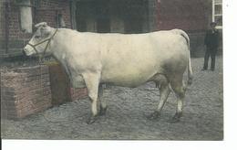 Vache - Mucche