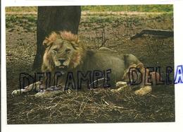Famille De Lions. Africa Dell'est. Fauna Africana Leone - Lions