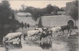 Rare Cpa Troupeau De Vaches Venant à L'abreuvoir - Elevage