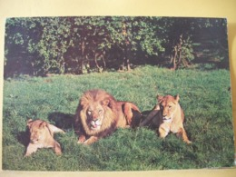 B21 4020 CPSM GM 1964 - ROYAUME UNI - ZOO DE CHESTER - LION ET LIONNES - Lions