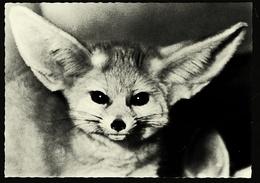 Fennek / Wüstenfuchs Aus Der Sahara  -  Vivarium Darmstadt  -  Ansichtskarte Ca.1965    (11616) - Tierwelt & Fauna