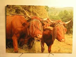 Agriculture - Attelages - Vaches Salers Devant Un Char De Foin - Leur Tête Est Protégée Par Un Mouchadou - Attelages