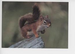 Ecureuil Roux - Red Squirrel - North American Widlife (cp Vierge) - Tierwelt & Fauna