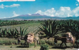 AQ49 Burros Y Magueyes Frente Al Nevado De Toluca, Mexico - Mexico