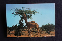 I - 38 / Asie - Saudi Arabia - Arabie Saoudite - West Region, Camel  - تحية من المملكة العربية السعودية - Arabie Saoudite