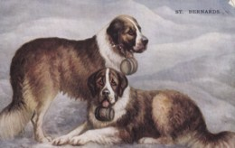 AS72 Animals - Dogs, St. Bernards - Dogs