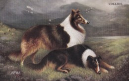 AS72 Animals - Dogs, Collies - Dogs