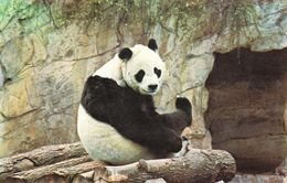 "Postcard Of Giant Panda ""Chi - Chi"" At London Zoo (29619) - Animaux & Faune"