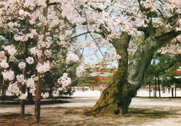 CHERRY BLOSSOMS AT HEIAN SHRINE-KYOTO- VIAGGIATA     FG - Kyoto
