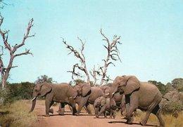 WILD LIFE-DIERELEWE-KRUGER NATIONAL PARK- VIAGGIATA     FG - Sud Africa