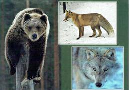 25D : Animal - Bear, Fox And Wolf Multi View Used Postcard With Stamp - Animals