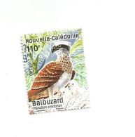 Balbuzard  (clascamer13) - Neukaledonien