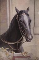 AS73 Animals - Horses - Black Horse - Tuck Oilette, Artist Signed CR - Caballos