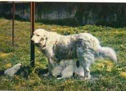 CHIEN ....des PYRENEES. - Dogs