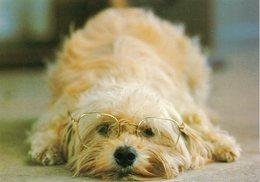 CHIEN .. Portant Des Lunettes - Dogs