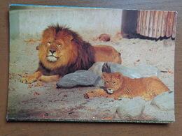 Zoo Van Antwerpen (Dierentuin) / Leeuw --> Beschreven - Antwerpen