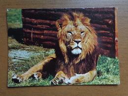 Leeuw, Lion / Dierenpark Amersfoort -> Beschreven, Achterkant Beetje Geschonden - Leoni