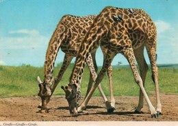 KENYA-THE GIRAFFE-AMBOSELI PARK- VIAGGIATA 1976    FG - Kenia