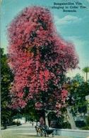 1938 BERMUDA , TARJETA POSTAL CIRCULADA , BOUGAINVILLEA VINE CLINGING TO CEDAR TREE - BERMUDA - Bermudas
