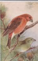 AS74 Animals - Birds - Crossbill, Artist Signed R.G - Birds