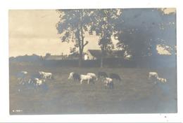 Photo Carte - Vaches Dans La Campagne, Prairie, Champs, Bétail, Ferme Agriculture,..A SITUER .  (b253) - Elevage