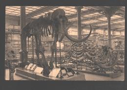 Brussel / Bruxelles - Musée Royal De L'Histoire Naturelle - Salle Des Vertébrés - Mammouth / Mammoet / Mammoth - Musées
