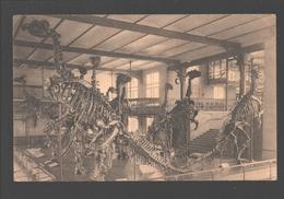 Brussel / Bruxelles - Musée Royal De L'Histoire Naturelle - Salle Des Vertébrés - Groupe Des Iguanodons - Dinosaur - Musées